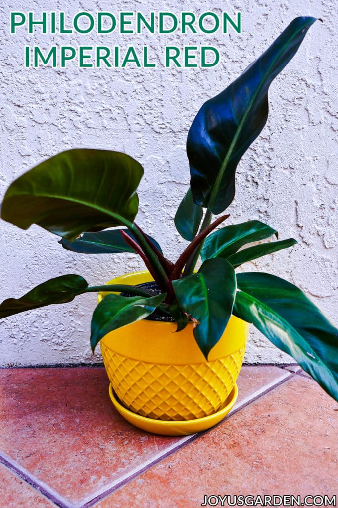 Philodendron Imperial Red: How To Grow This Beautiful Tropical Houseplant