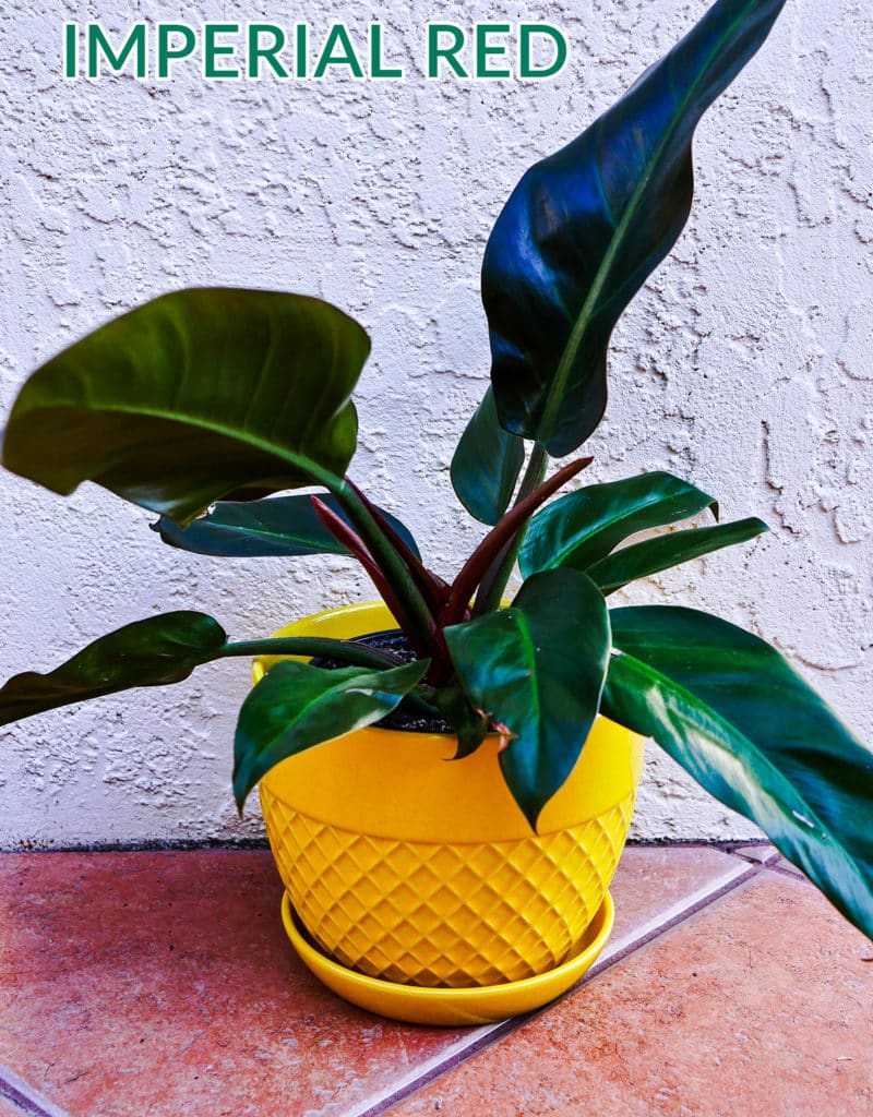 a philodendron imperial red houseplant in a yellow pot sits on the ground the text reads philodendron imperial red