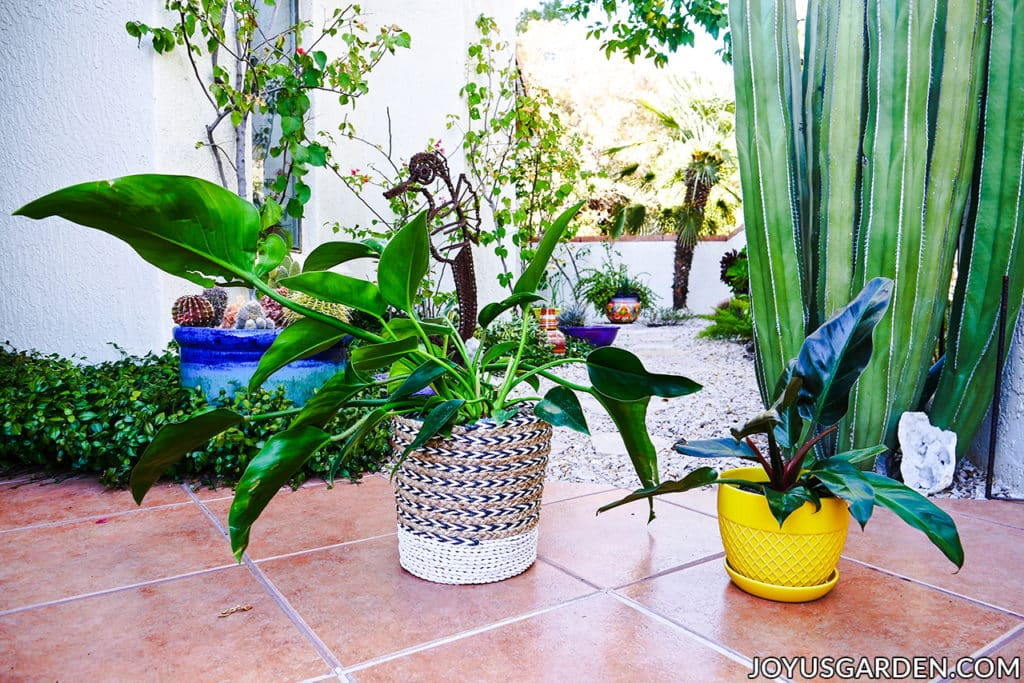 a philodendron congo in a basket sits next to a philodendron imperial red houseplant in a yellow ceramic