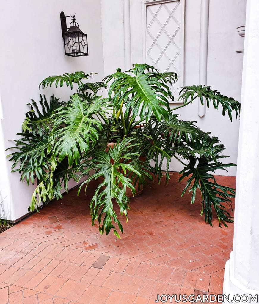 a large philodendron selloum plant sits in a door entryway