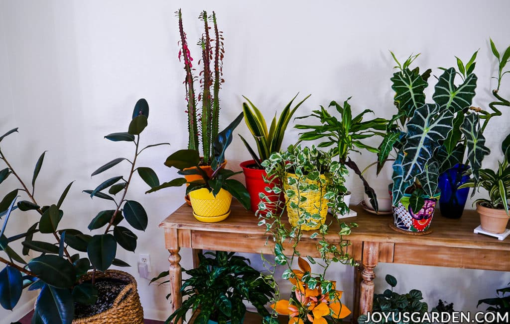 houseplants with beautiful foliage sit on a long table next to a rubber plant in a basket