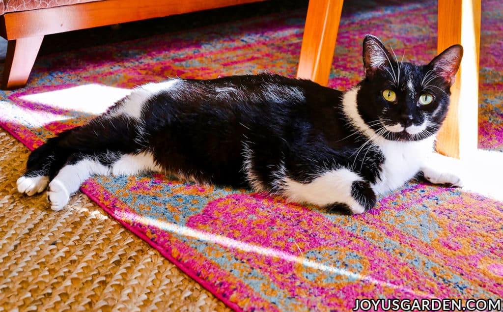 a large tuxedo cat lays on a rug & looks into the camera