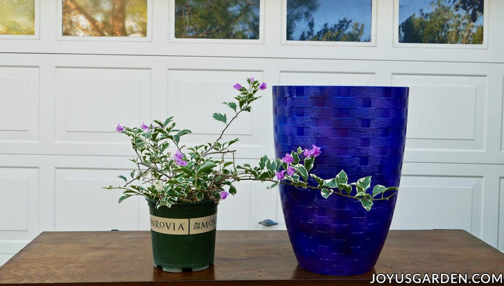 a bougainvillea with variegated foliage sits next to a tall blue pot on a work table