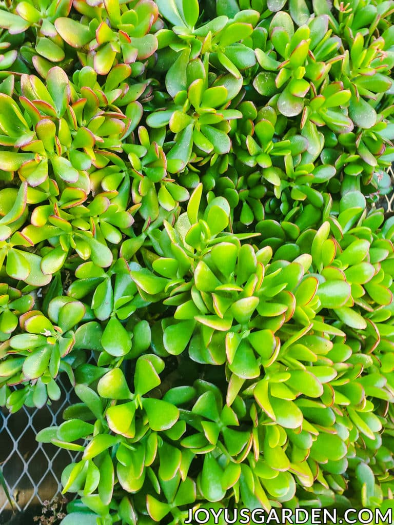 close up of the many leaves of a jade plant some of which are edged in red
