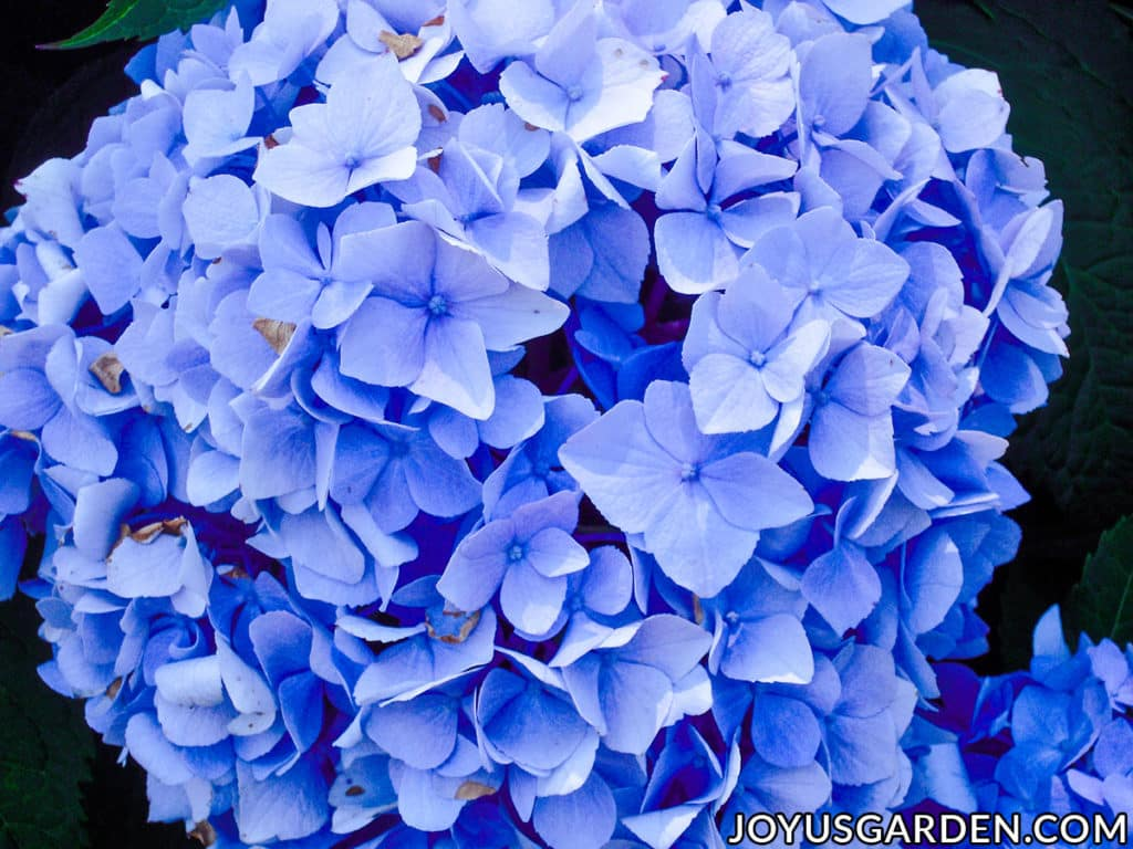 looking down on a large vivid blue mophead hydrangea flower