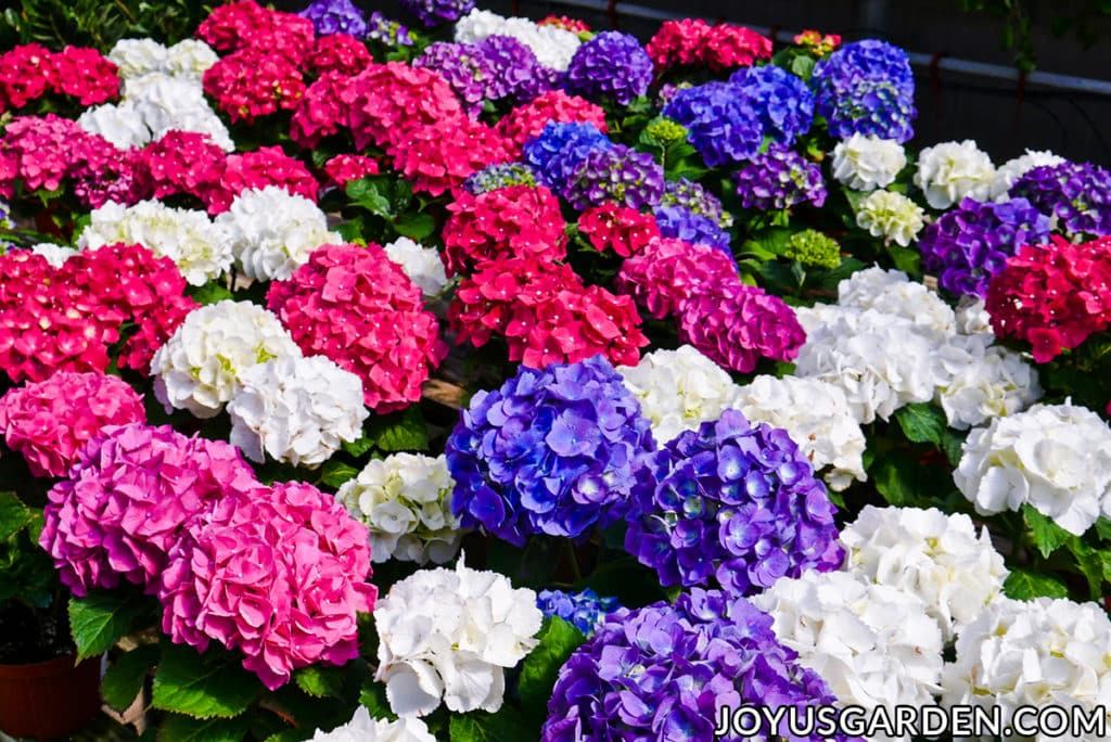 rows of florist hydrangeas with large flowers in rose, purple, blue & white