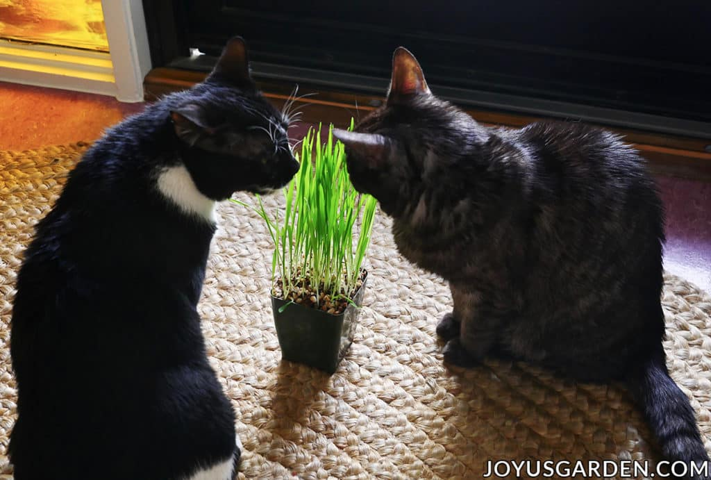 a tuxedo cat & a grey striped cat sit near a pot of cat grass