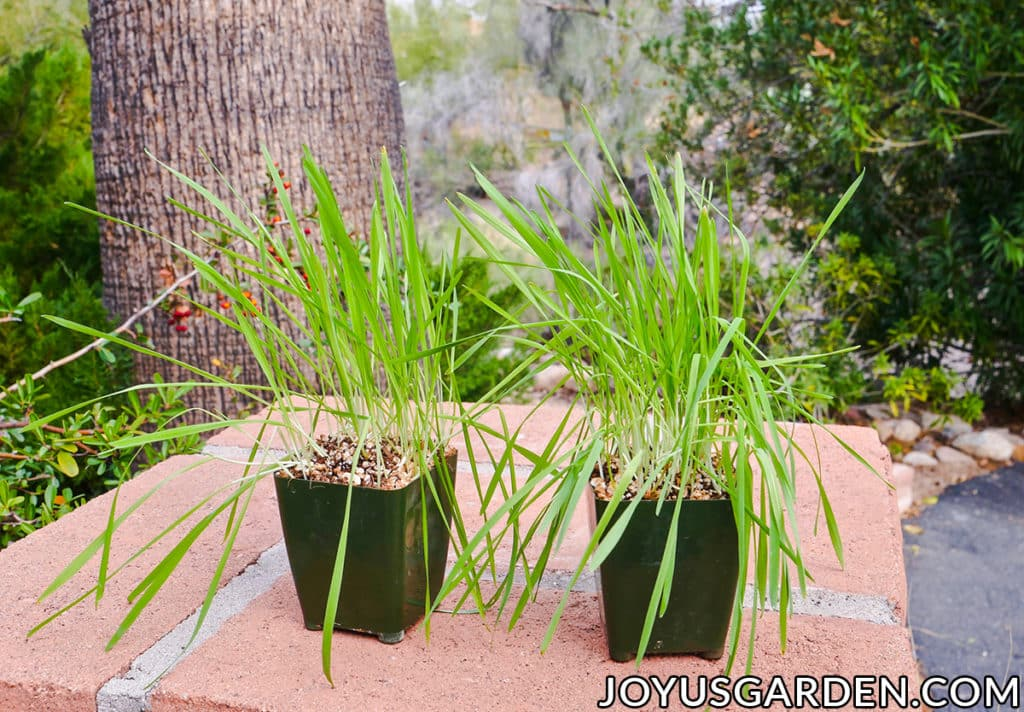 "2 4"" grow pots filled with cat grass which is flopping sit outside"