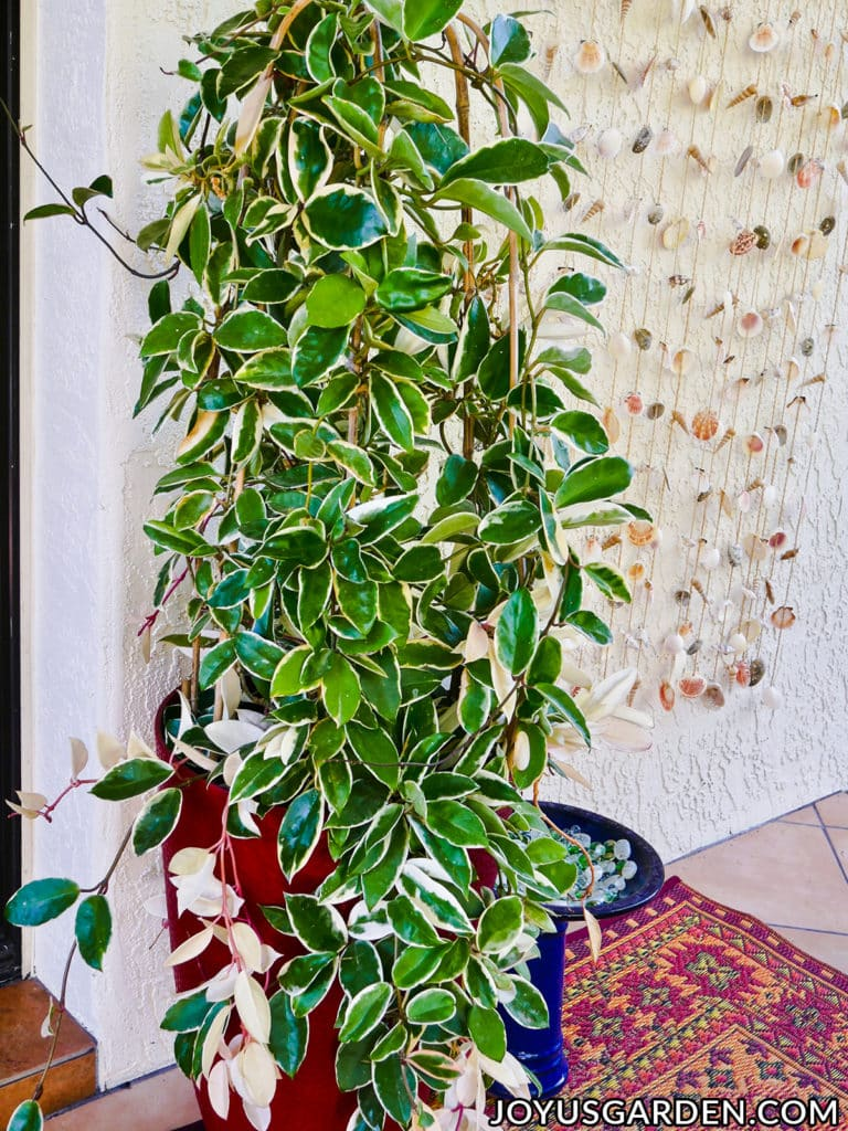 a large variegated hoya topiary grows outdoors in a tall red pot