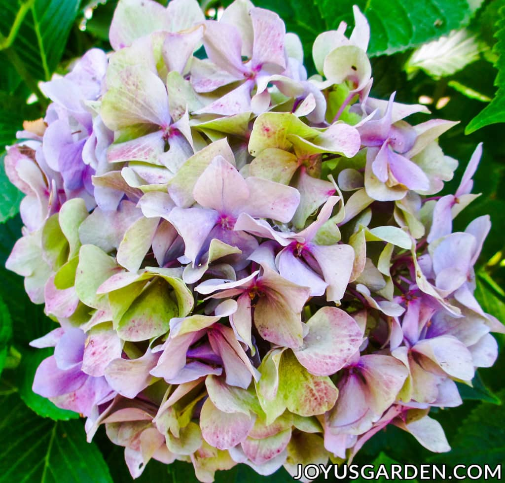 close up of a mophead hydrangea flower which is lavender & green in coloration