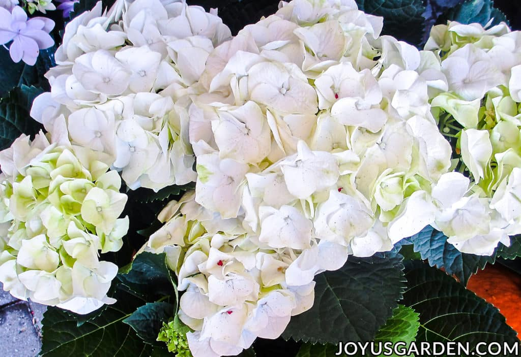 looking down on a mophead hydrangea plant with large open white flowers