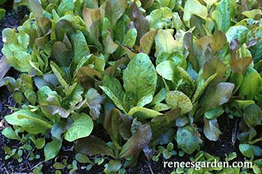 close up of baby leaf lettuce heirloom cutting mix