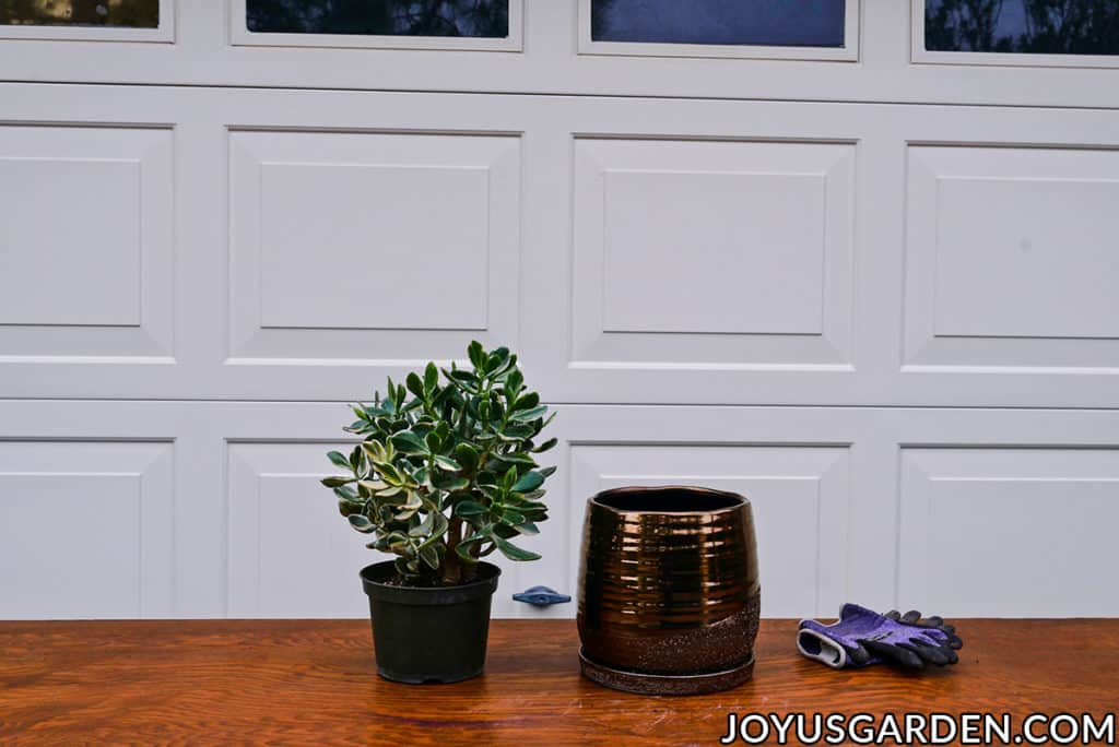 a variegated jade plant sits next to a metallic bronze ceramic pot & a pair of garden gloves on a work table