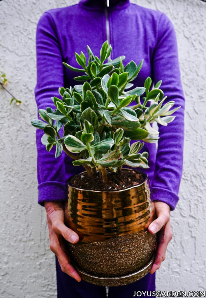 Repotting Jade Plants: How To Do It & Soil The Mix To Use