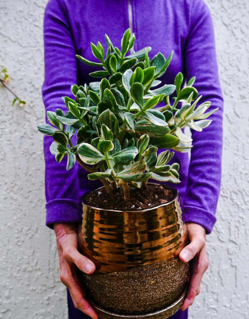 a woman in a purple shirt holds a variegated jade plant in a bronze metallic ceramic pot