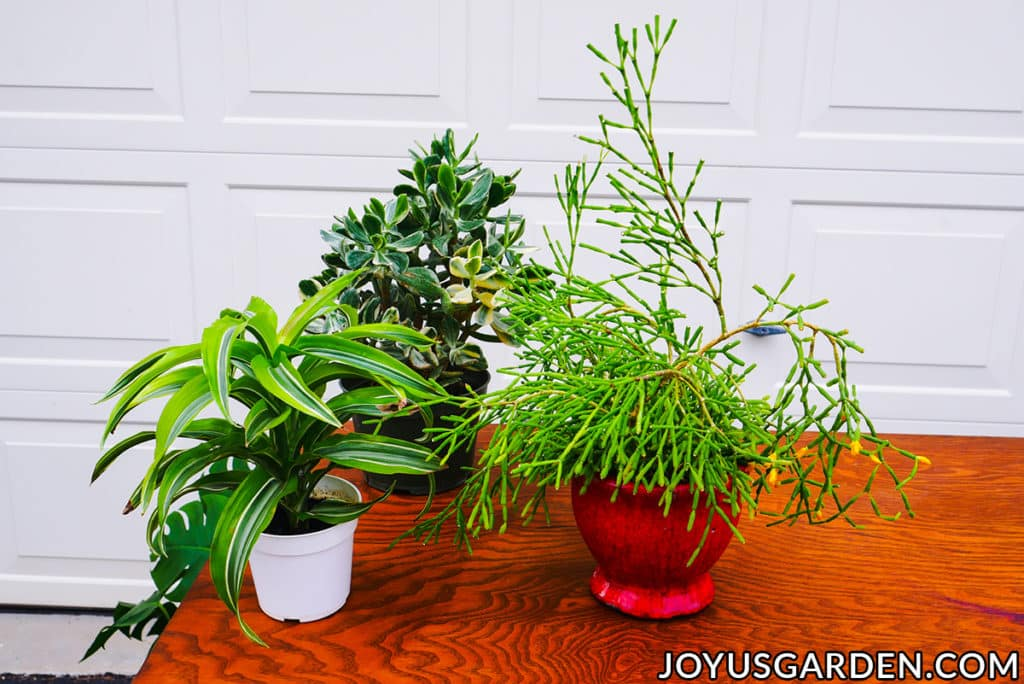 3 small tropical houseplants sit on a work table