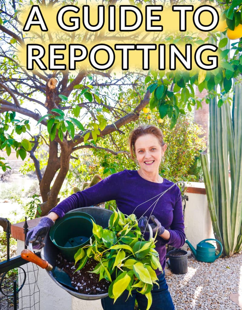 nell foster holds a metal bin filled with soil mix a plant & a trowel the text reads a guide to repotting