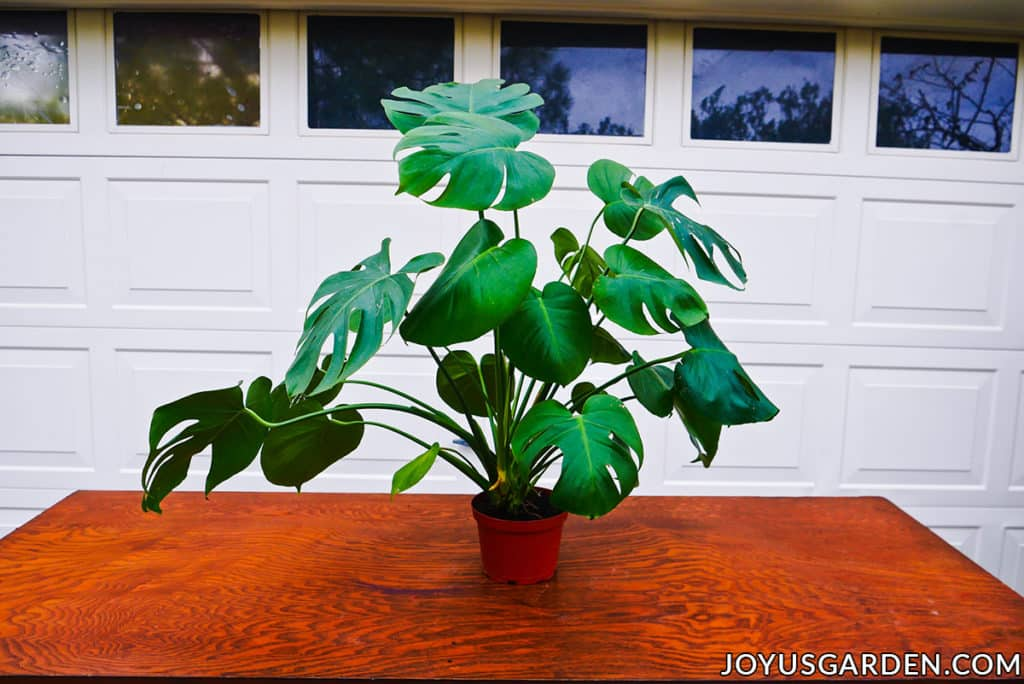 a monstera deliciosa sits on a work table in front of a garage