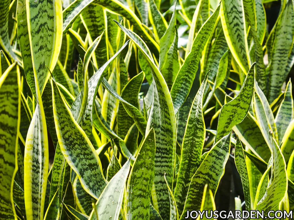 looking closely at the vibrant foliage of a sansevieria laurentii snake plant