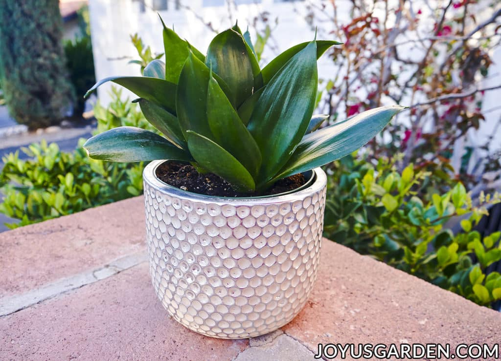a jade birds nest sansevieria snake plant in a beautiful ceramic pot sits outside