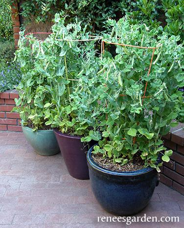 3 snap pea plants growing in containers