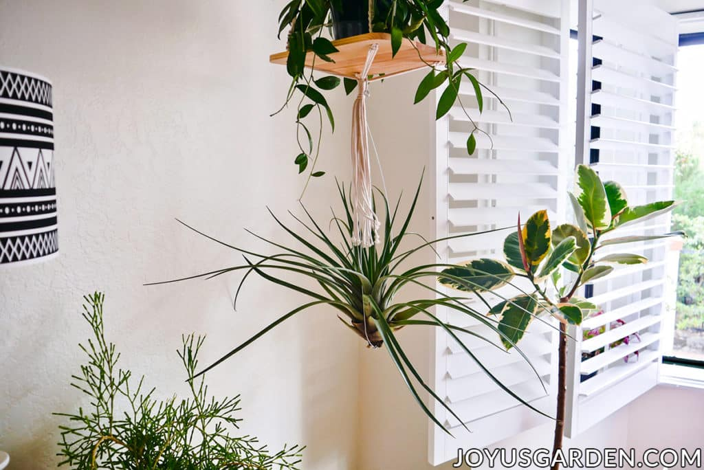 a large air plant hangs from a hanging plants shelf