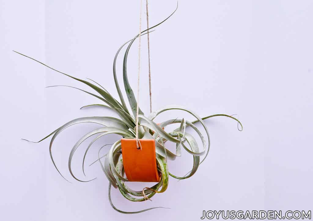 a large air plant sits in a hanging terra cotta plant cradle