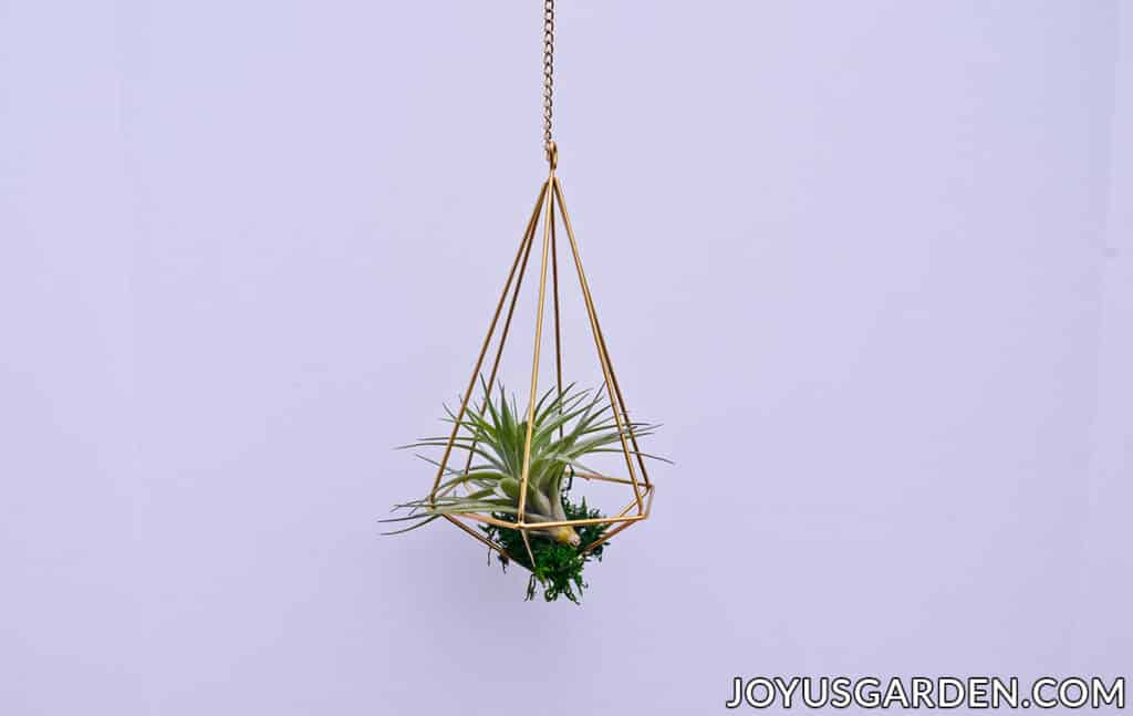 an air plant is displayed inside a gold geometric hanger