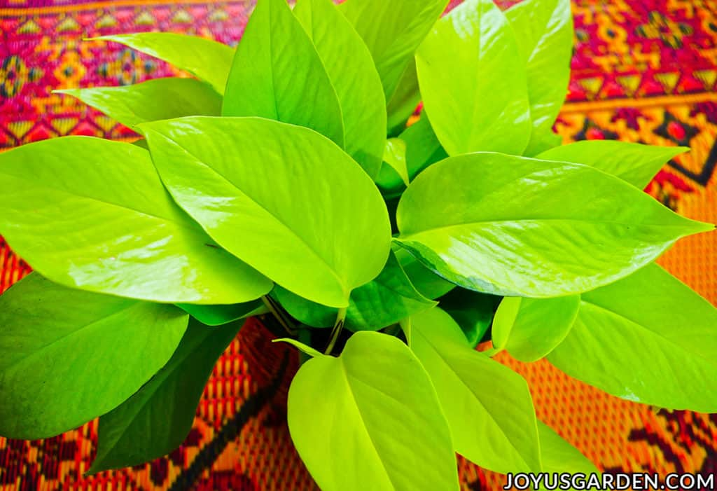 close up of the vibrant chartreuse leaves of a neon pothos