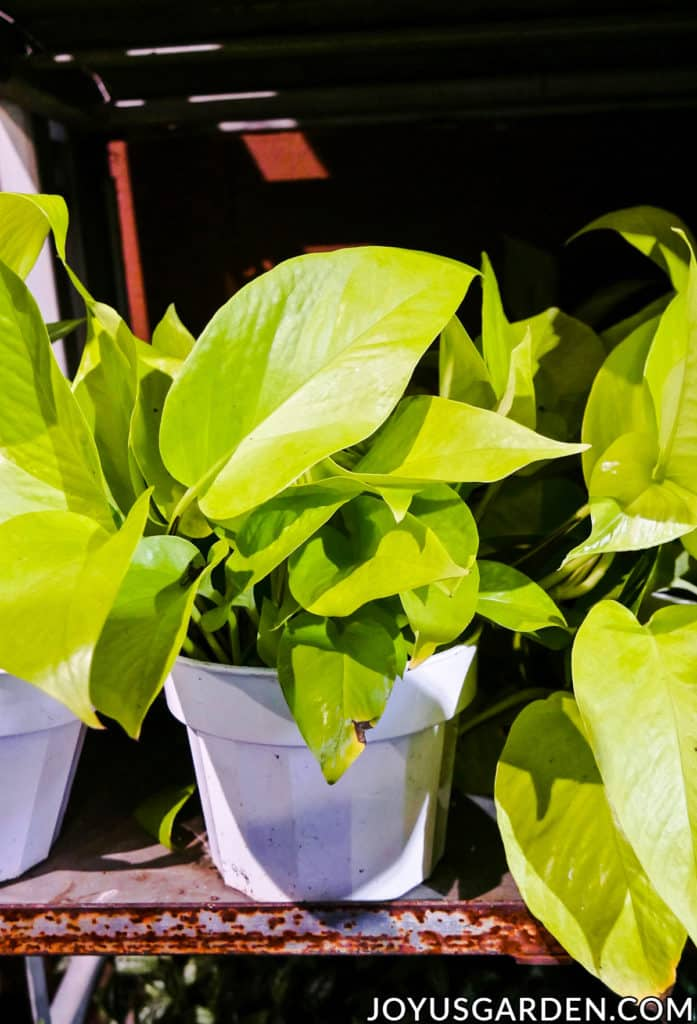 "close up of a 4"" neon pothos"