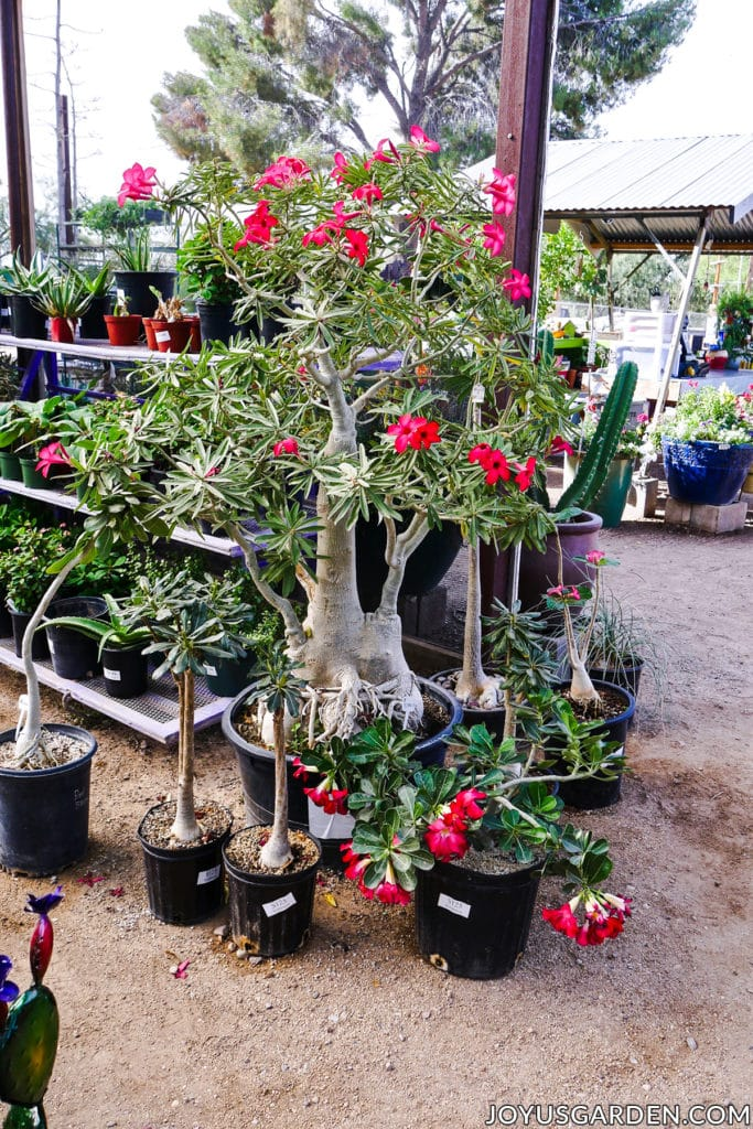 a variety of sizes & forms or adeniums desert roses at a nursery