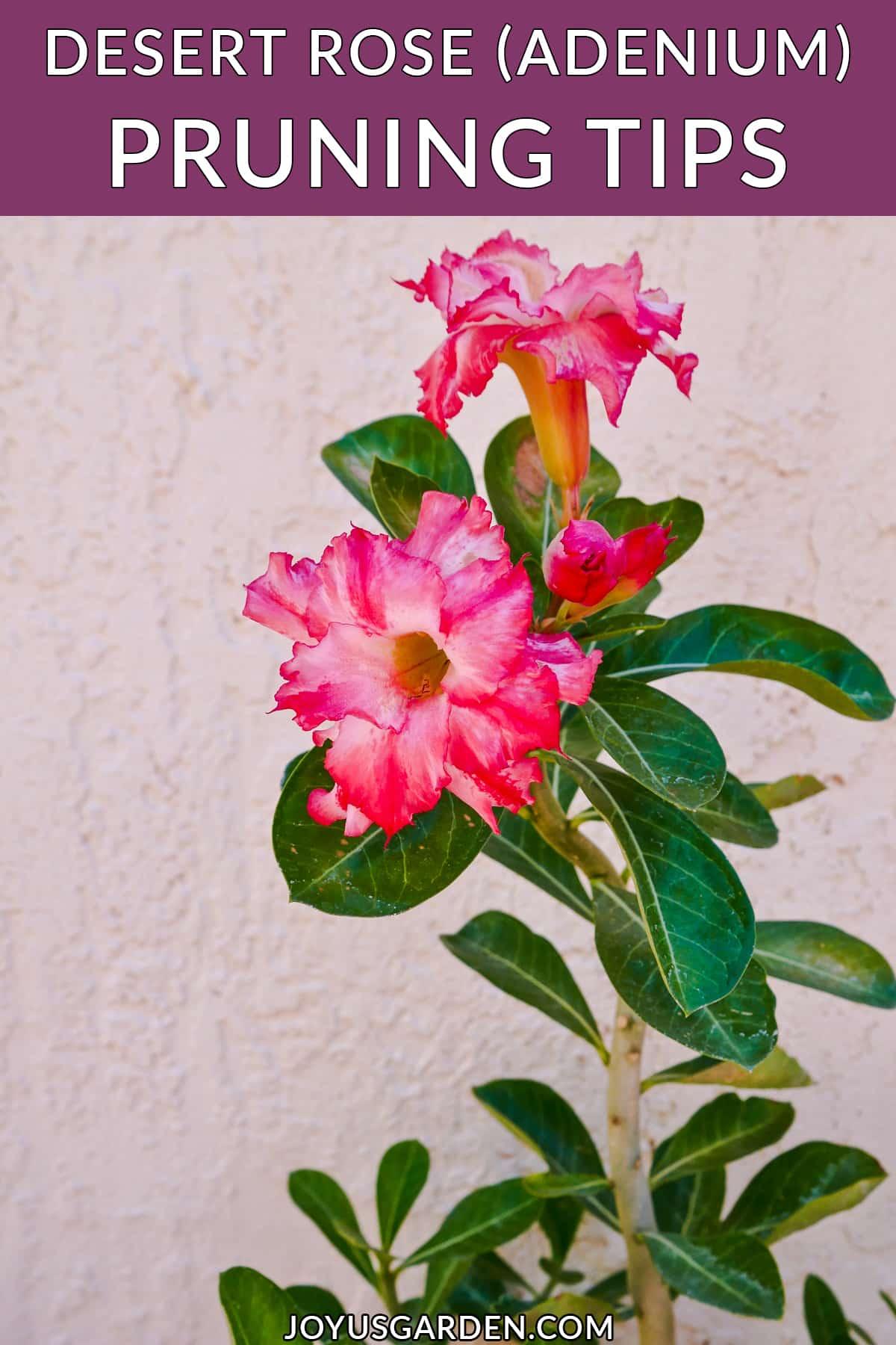 close up of the dark pink/white flowers of an adenium desert rose the text reads desert rose (adenium) pruning tips