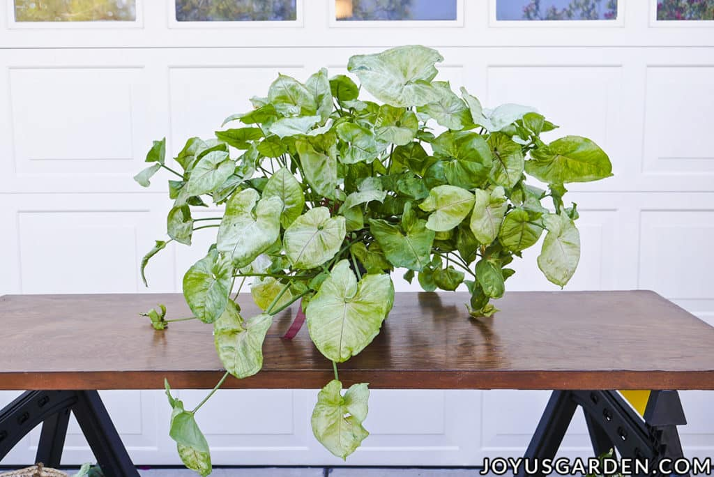 a large arrowhead plant syngonium sits outside on a work table