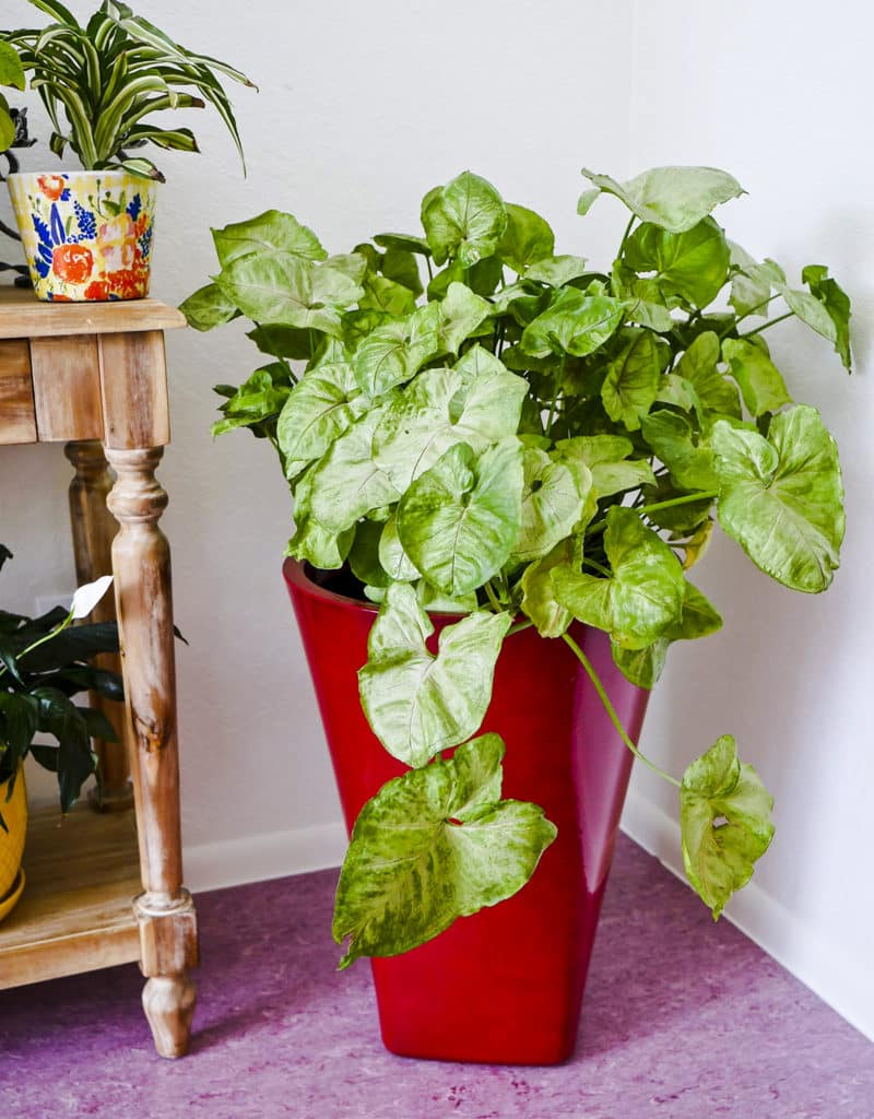 a large arrowhead plant syngonium in a tall red pot grows in a corner