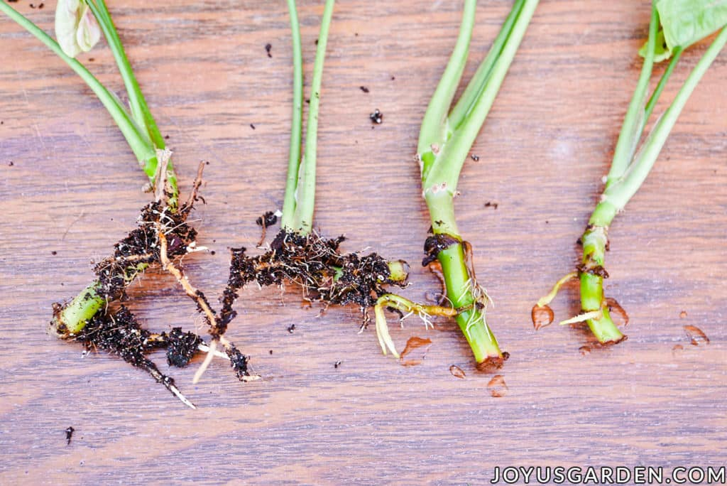 close up of the ends of stems cuttings with roots starting to appear
