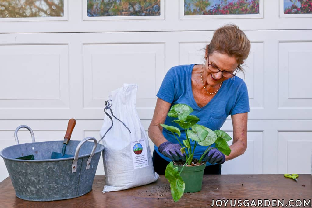 nell foster applies worm compost to a pot of newly planted arrowhead plant syngonium cuttings