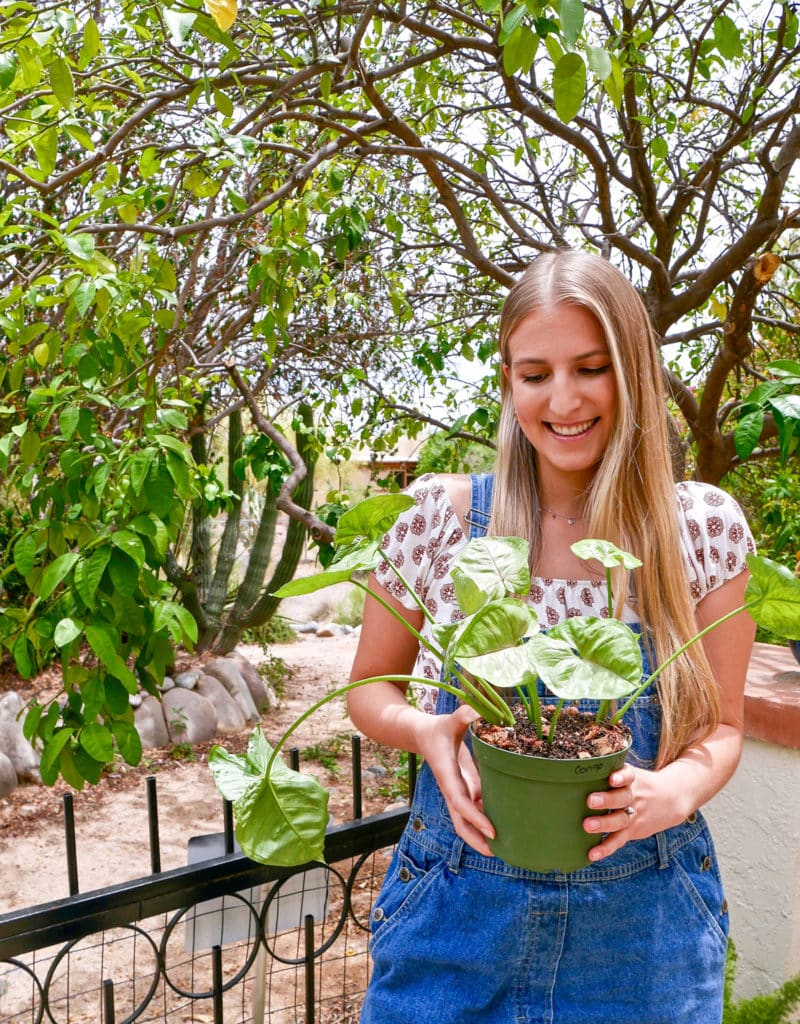 a smiling woman holds a pot of newly planted arrowhead plant syngonium cuttings