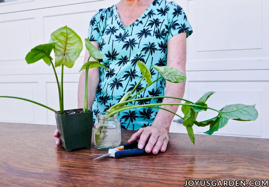 arrowhead plant syngoium cuttings in soil & in water sit on a work table with a woman holding a pair of floral snips