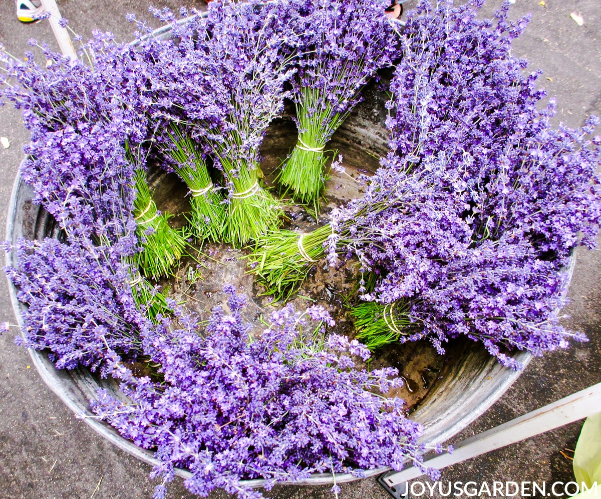 looking down into a low tin bucket full of bundles of stems of lavender flowers
