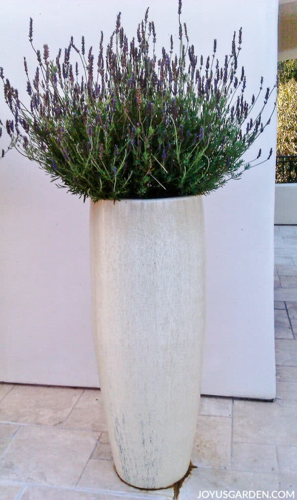 a lavender plant with live & dead flower spikes grows in a tall opalescent pot