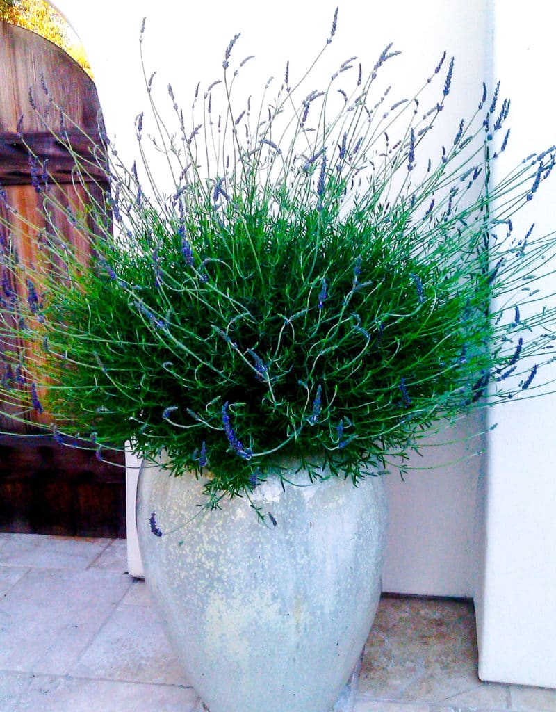 a large lavender in full bloom grows in a tall rounded light blue opalescent pot