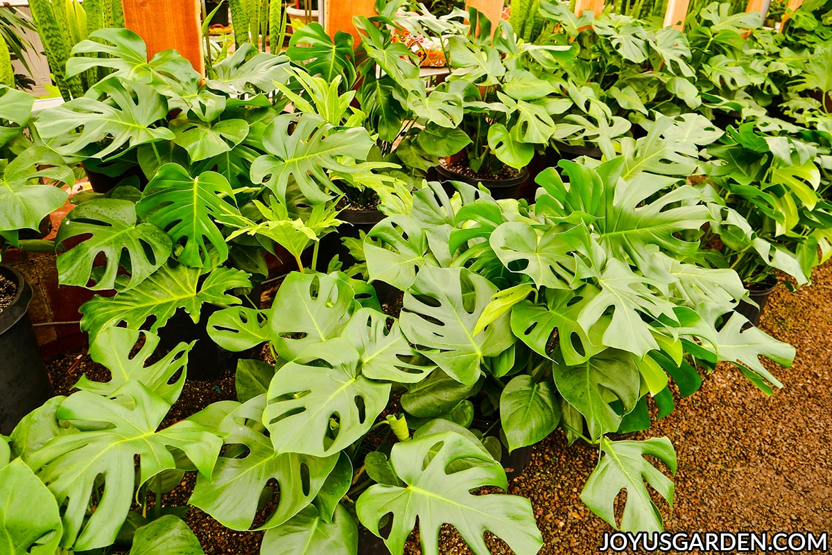 many monstera deliciosas swiss cheese plants growing in 2 rows at a nursery