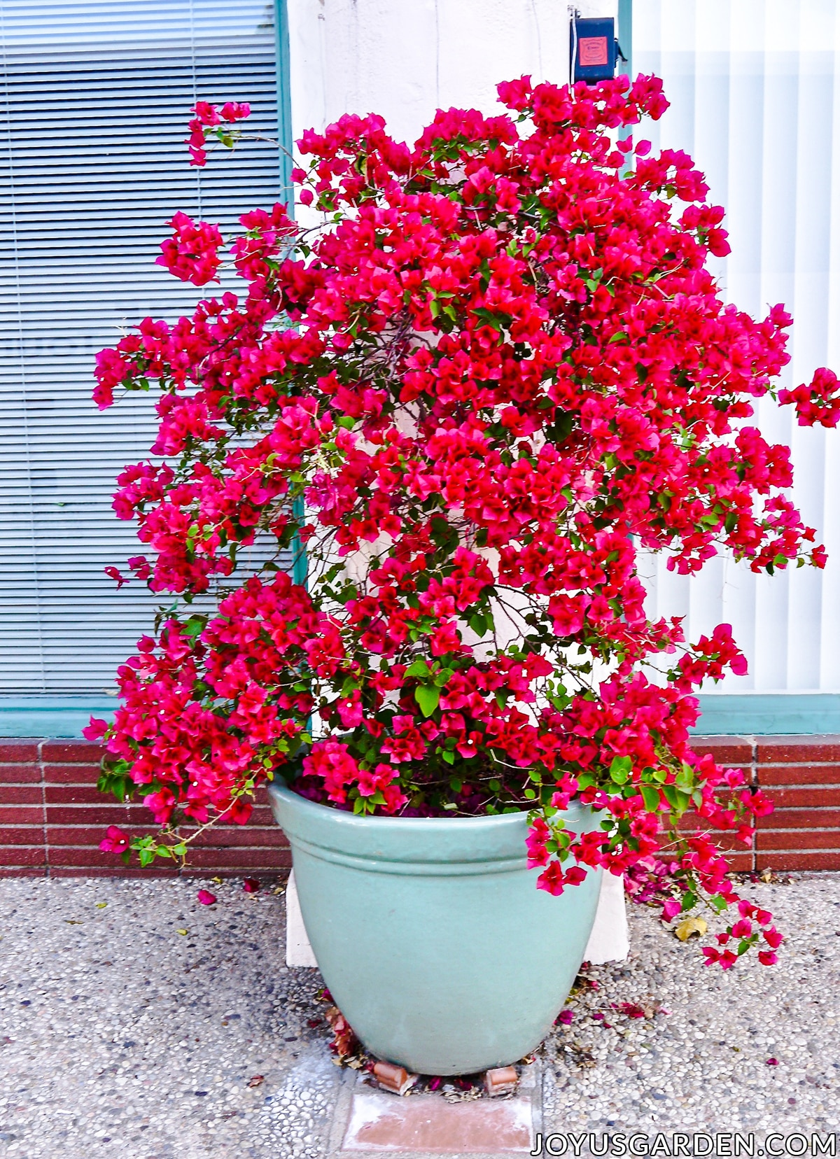 a bright rose red-bougainvillea in full bloom grows in a light blue ceramic