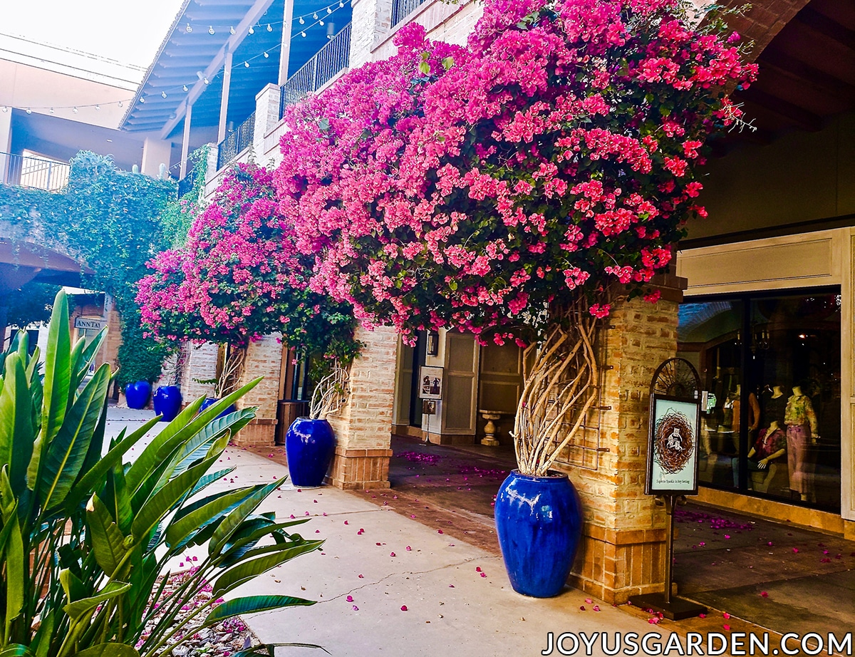 a row of large deep rose bougainvilleas in full bloom grow in tall blue urns at a mall in tucson az
