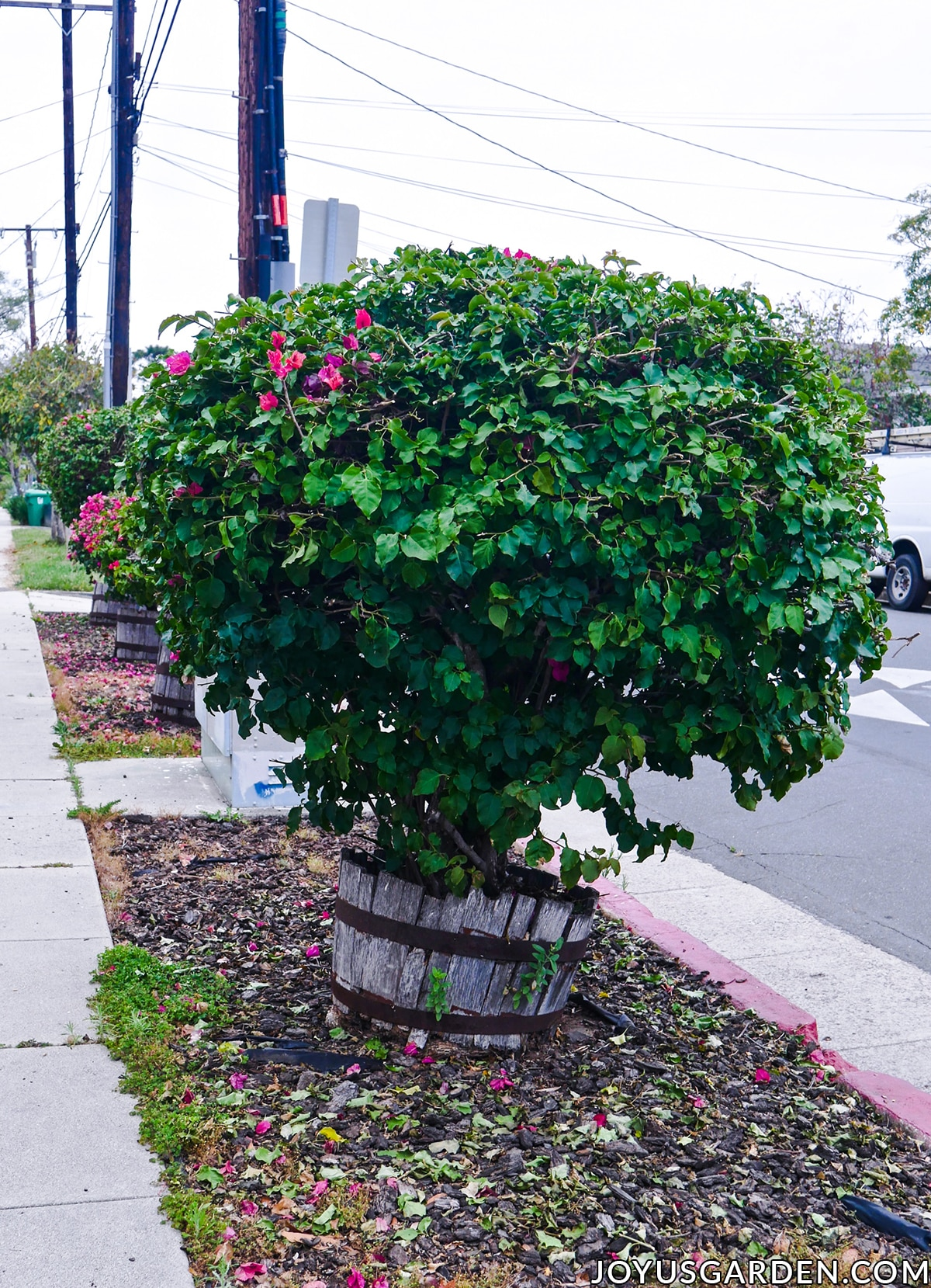 medium sized bougainvilleas pruned into a round blob grow in wine barrels which are falling apart