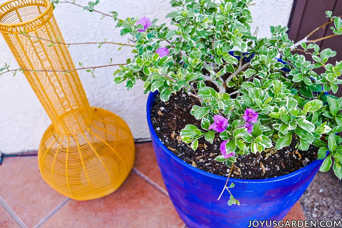 a variegated bougainvillea blueberry ice grows in a tall blue container next to a yellow wire urn