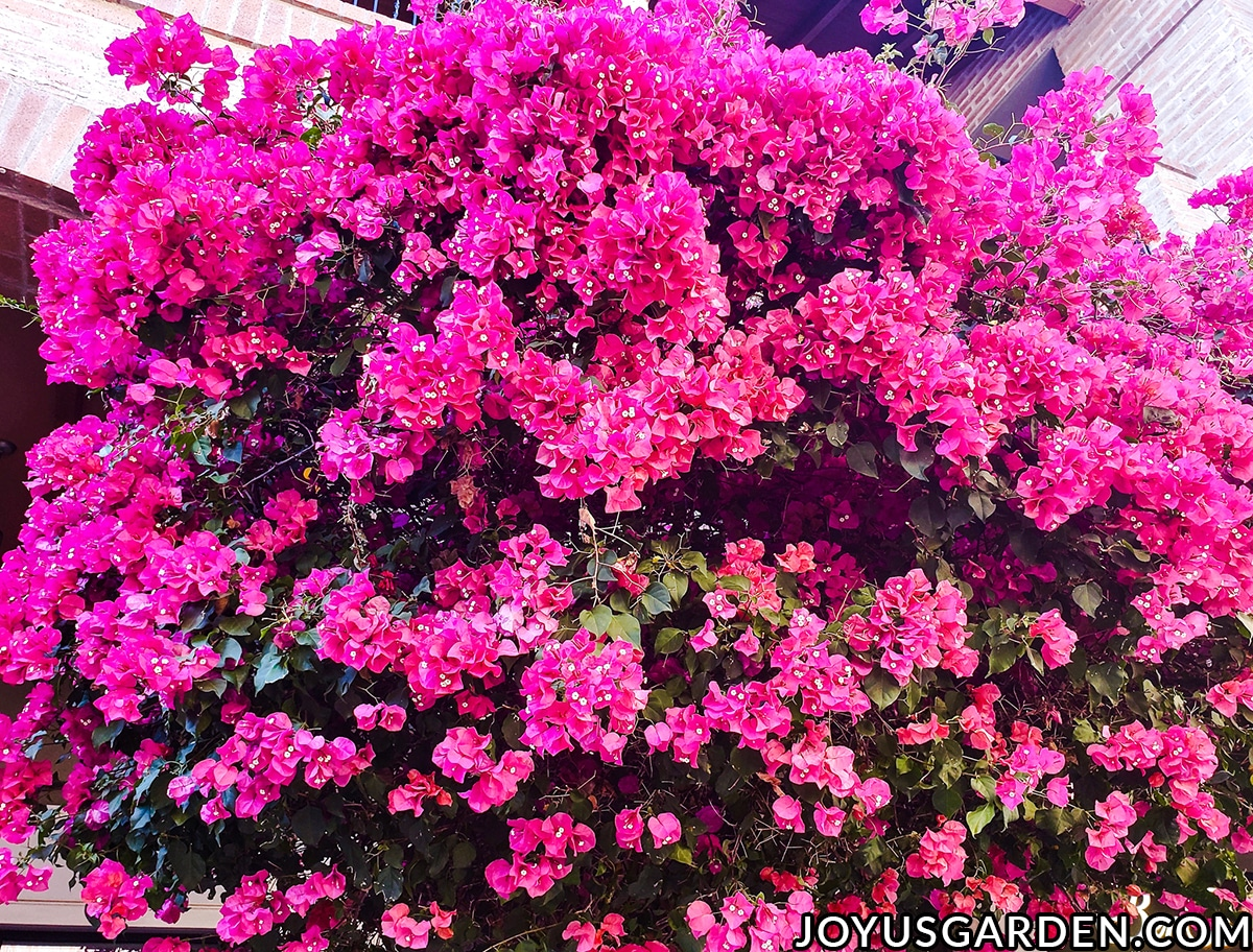 looking at the canopy of a deep rose bougainvillea in full bloom