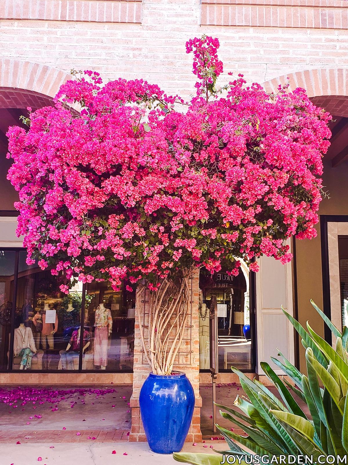 a beautiful deep rose bougainvillea in full bloom growing against a brick pillar in a tall deep blue ceramic