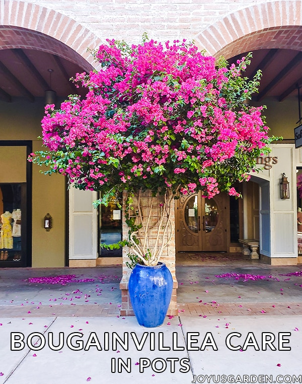a large deep rose bougainvillea grows in a large blue ceramic urn pot