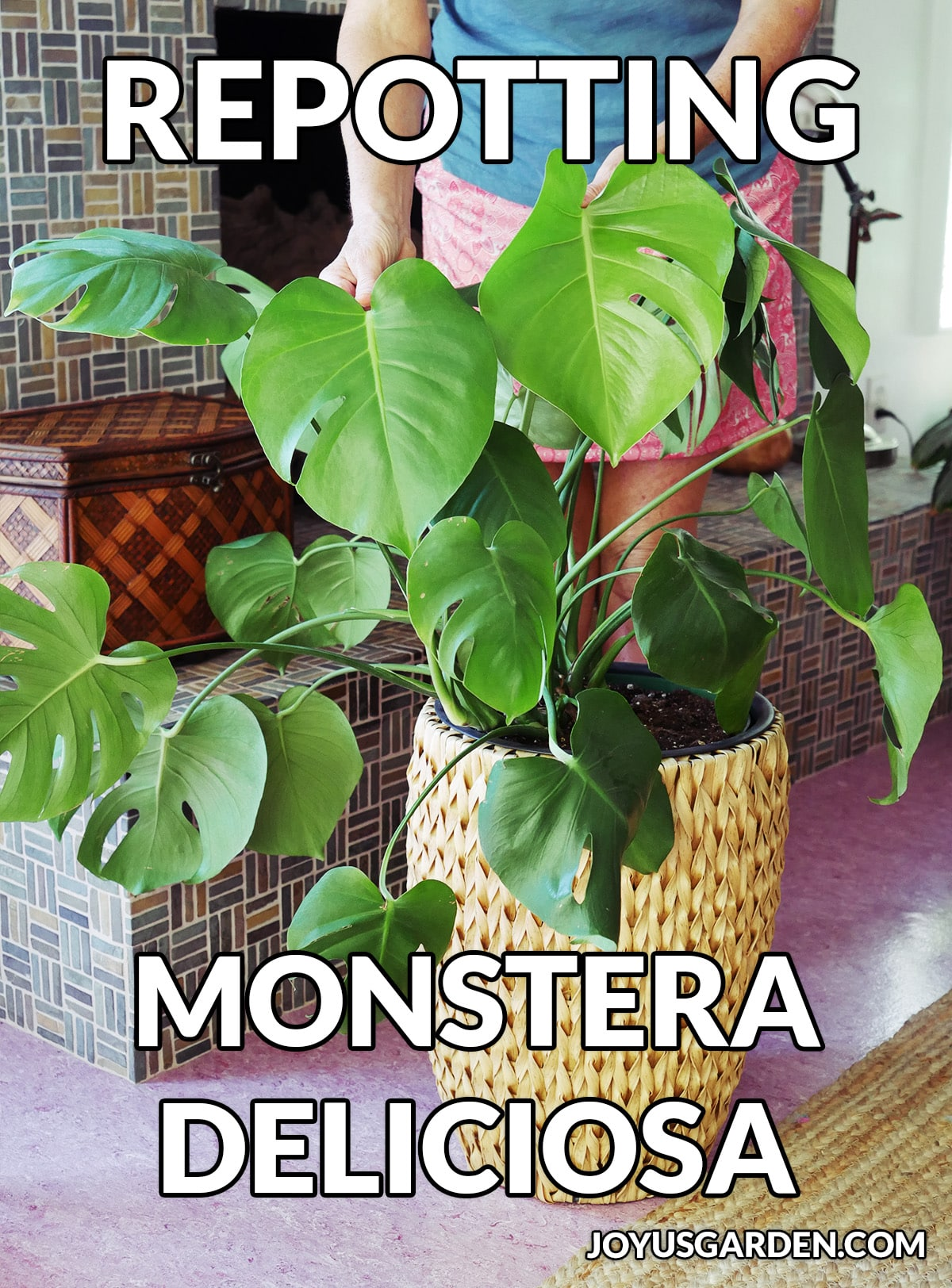 A monstera deliciosa swiss cheese plant grows in a tall basket the text reads repotting monstera deliciosa